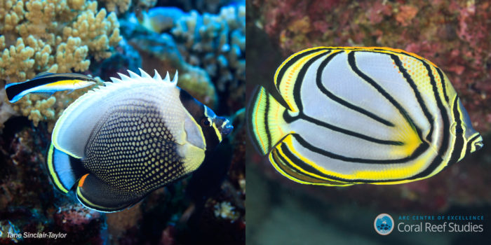Two closely related species living together need different colours to stand out.  The Reticulated Butterflyfish (Chaetodon reticulatus; left) and Meyer's Butterflyfish (Chaetodon meyeri; right) are close relatives that have overlapping ranges in the Indo-Pacific and are both found on the Great Barrier Reef. Despite only being separate species for less than a million years (a blink of an eye in evolutionary time), they have evolved very different colour patterns making them stand apart from each other on reefs where they are both found. Credit: Tane Sinclair-Taylor