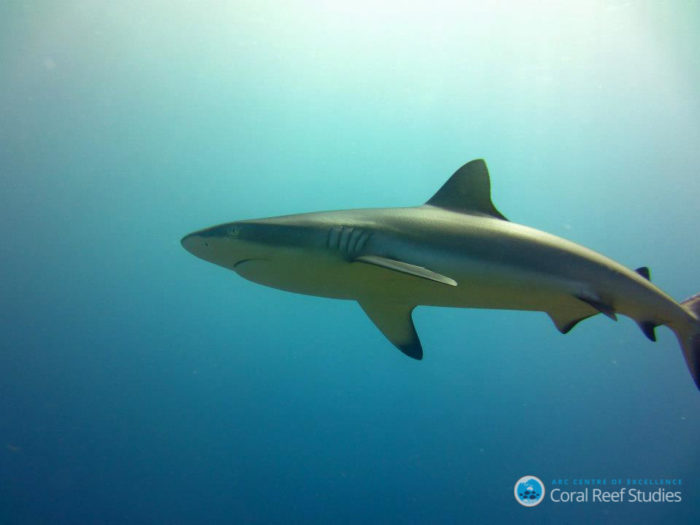 Sharks in no-take reserves are vulnerable to poaching. Credit: ARC Centre of Excellence for Coral Reef Studies/Gemma Galbraith