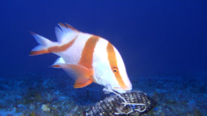 A red emperor (Lutjanus sebae), feeing on bait box, in the deeper reef fish community. Credit: Tiffany Sih