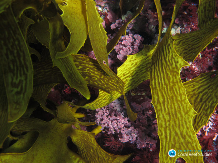Crustose coralline algae amongst brown algae, Rottnest Island. Credit: Chris Cornwall