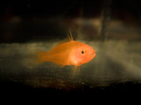 Tracking baby fish for better reef management