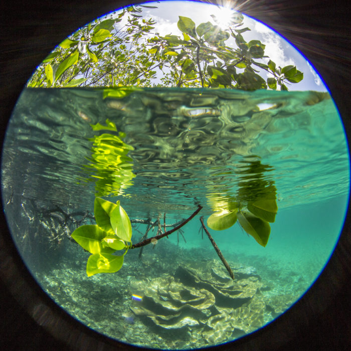Healthy mangroves can offer some young reef fish some respite from climate change impacts. Credit: Pete Mumby.
