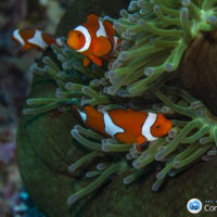Finding Nemo's family: a good home is more important than good genes