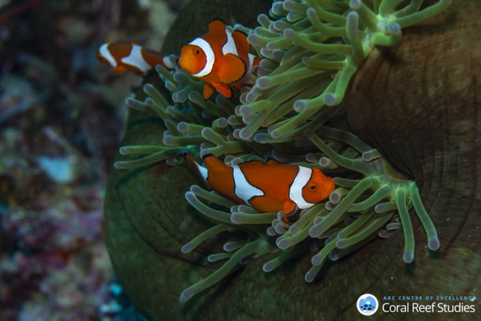 Clownfish (Amphiprion percula) on their anemone in the lagoon around Kimbe Island in Papua New Guinea. Photo credit: Simon Thorrold (WHOI)