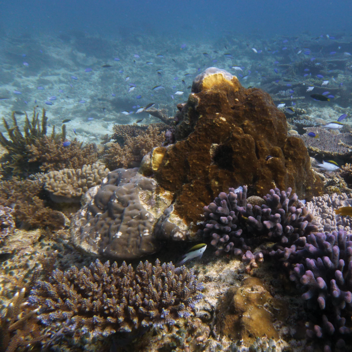 On nutrient-poor coral reefs, sponges such as this coral-excavating species (dark brown patch) benefit from feasting on organic matter dissolved in the surrounding seawater. Photo credit: Michelle Achlatis, Heron Island, Great Barrier Reef​.