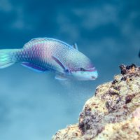 Severe coral loss leaves reefs with larger fish, but at a cost