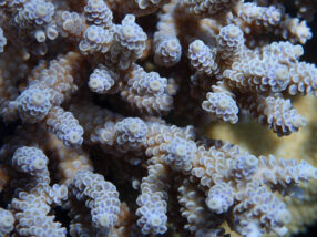 "From Single to a Symbiotic Relationship: How ""Relationship Status"" Changes Gene Expression in Corals & Symbiotic Algae"