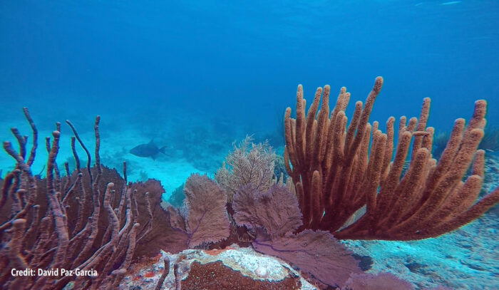 Sea fans—softer-bodied coral relatives—colonising a dead stony coral framework. Credit: David Paz-Garcia.