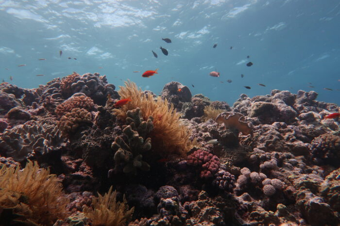 The Great Barrier Reef has lost half its corals in the past three decades. Diminished populations of the larger breeding corals means there are fewer baby corals—which affects the reef's ability to recover from the impacts of climate change. Image credit: Andreas Dietzel.