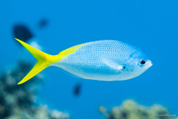 A redbelly yellowtail fusilier. Image credit: Victor Huertas