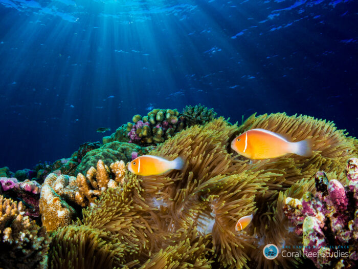 The world-first study measured around half a trillion corals in the Pacific. Image credit of Amphiprion on the drop off: David Williamson.