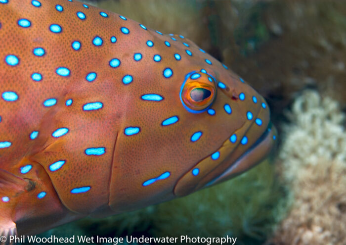 There are four species of coral grouper found commonly on the Great Barrier Reef. The bar-cheek coral grouper (Plectropomus maculatus) is distinguished by elongated dot patterns. Image courtesy of Phil Woodhead, Wet Image Underwater Photography