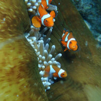 Baby reef fishes swim for gold