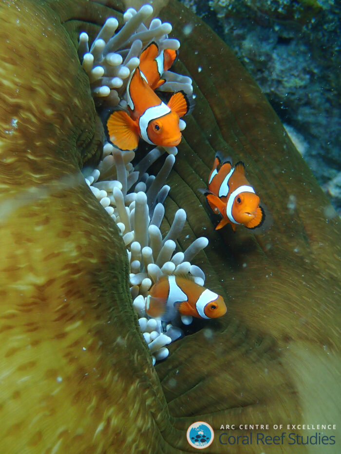 More than 200 fish species were studied. Reef fish include clownfish, seen here. As babies, reef fish need to find a new reef home—this is when they become some of the fastest baby fish in the ocean. Photo: Katie Sambrook / ARC Centre of Excellence for Coral Reef Studies.