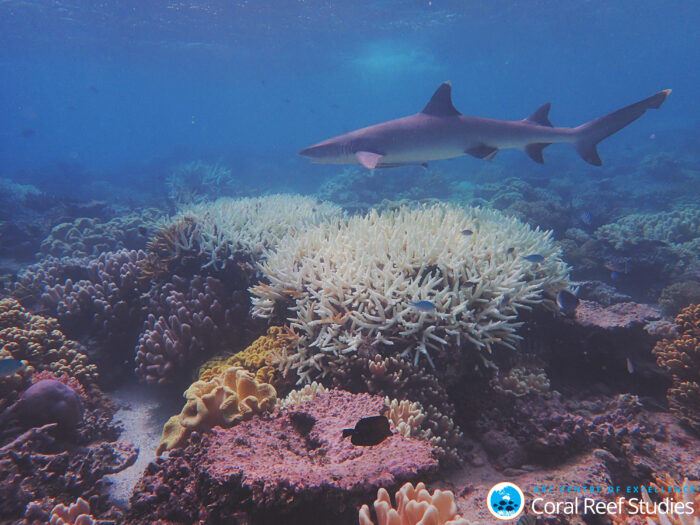 A whitetip shark swims over bleached Acropora corals on the Great Barrier Reef during the 2020 bleaching event. Credit: Morgan Pratchett.
